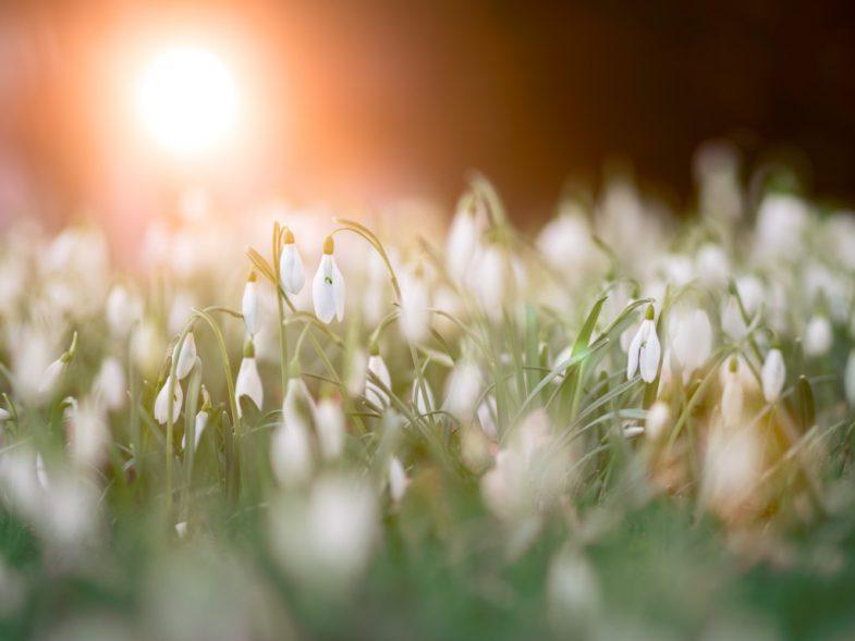 Ekspert wczesnowiosenne kwiaty bywają niebezpiecznie trujące