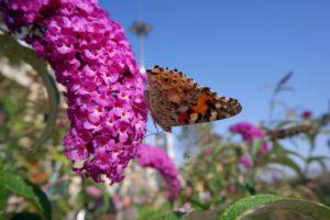 Rośliny, które 'zaproszą' motyle do Twojego ogrodu