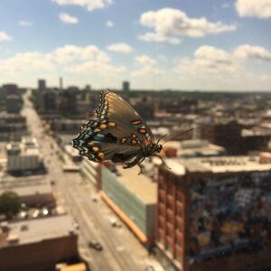Miejskie motyle to nie tylko bielinki i rusałki