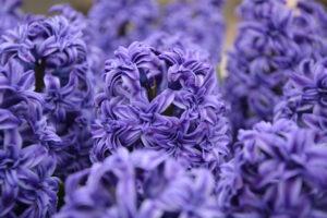 Rośliny cebulowe - hiacynt